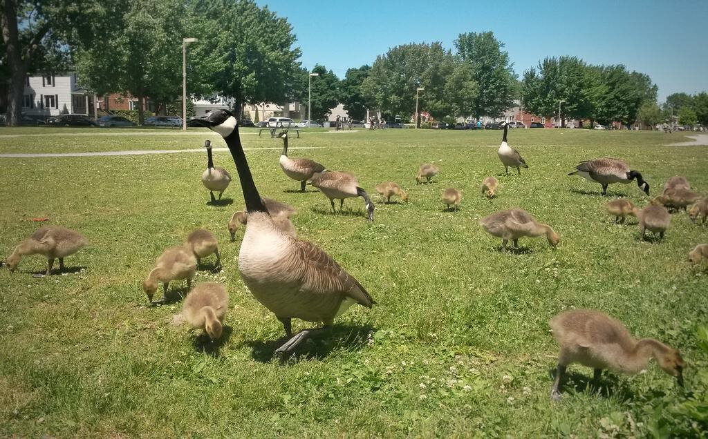 June 2018 Income Report: Geese