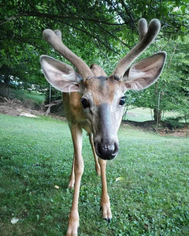 muskoka deer